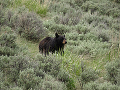 Close Encounter with a Black Bear