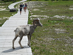 Flossy the Long Horn Sheep